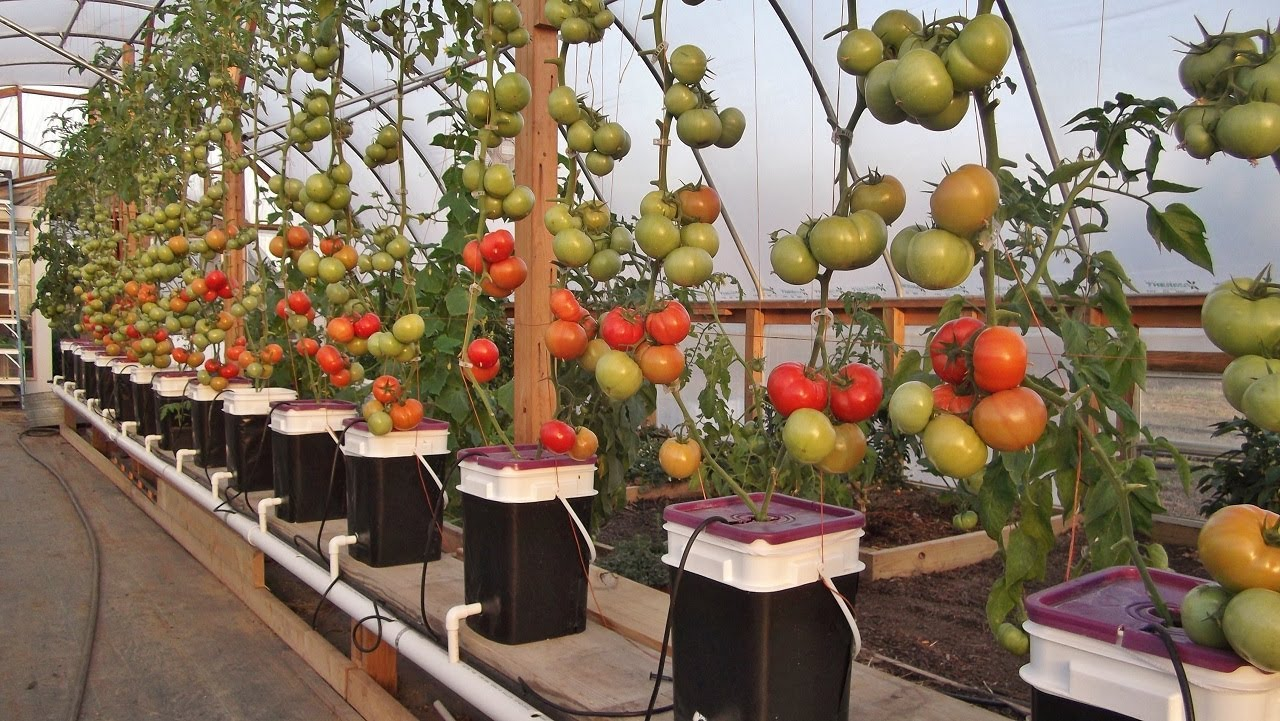 All about gardening: Tomato Growing Methods: Hydroponics vs. Soil