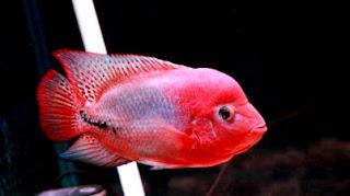 Jenis termahal Ikan louhan kamfa atau golden flower