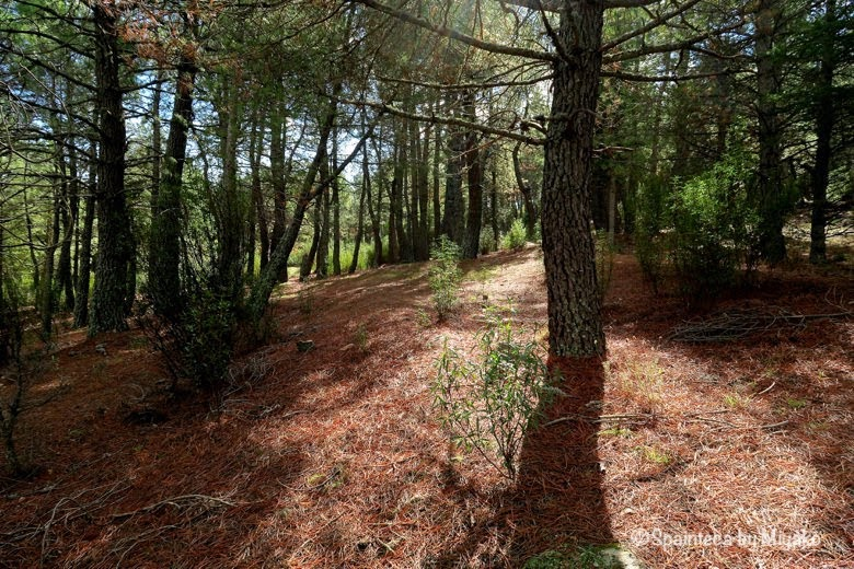 La Pedriza マドリードで山歩きができる自然公園の松林