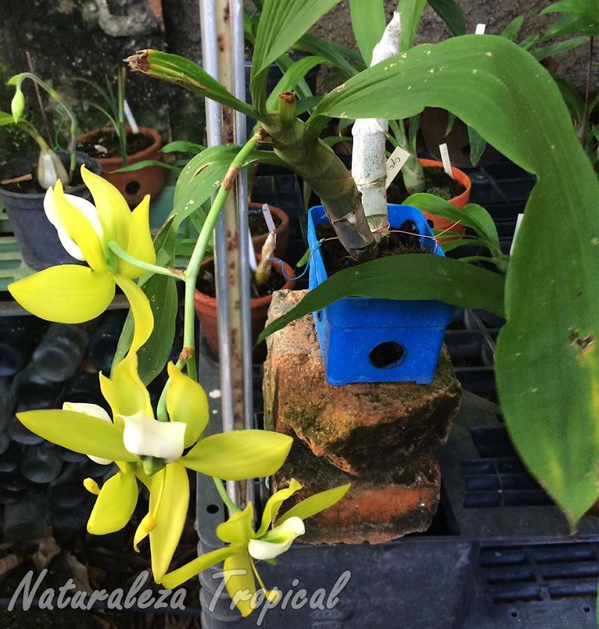 Vista de los pseudobulbos, hojas e inflorescencia de la orquídea Cycnoches warszewiczii