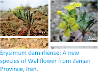 http://sciencythoughts.blogspot.co.uk/2017/11/erysimum-damirliense-new-species-of.html