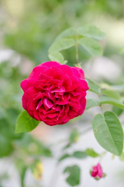 Pink Lady von David Austin, Pomponetti