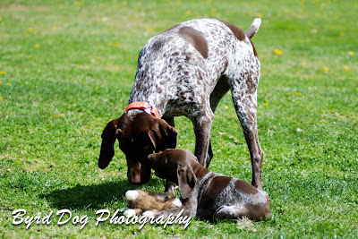 Adventures Of A Gsp Hunting Dog April 2012