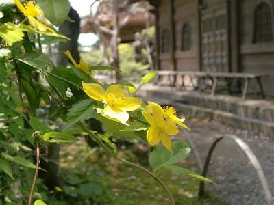 英勝寺のヤマブキ