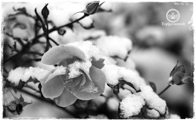 Buchvorstellung: Lieblingsrosen, finden und verlieben - die besten Rosen für den Garten im Portrait - Rose Jazz im Schnee in schwarz-weiß -Gartenblog Topfgartenwelt