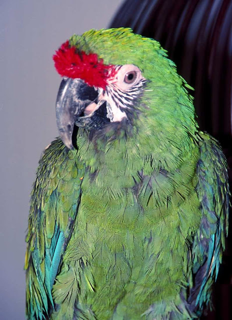 Portrait of parrot Ziggy