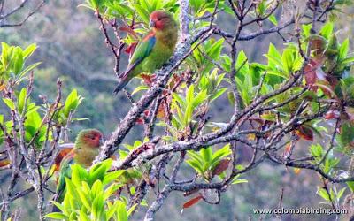 Lorito amazonino: Hapaopsittaca amazonina