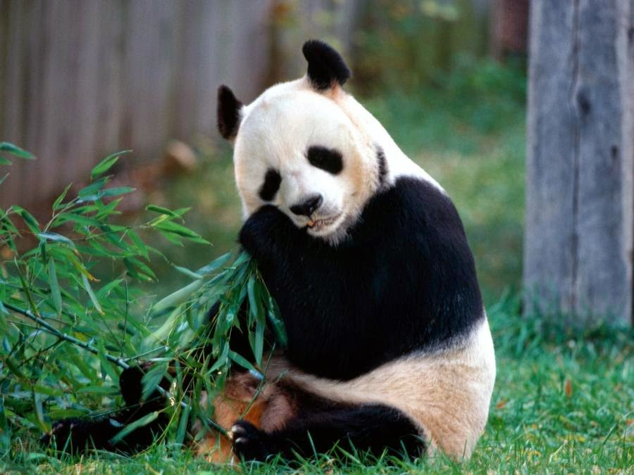 fotos de osos panda comiendo