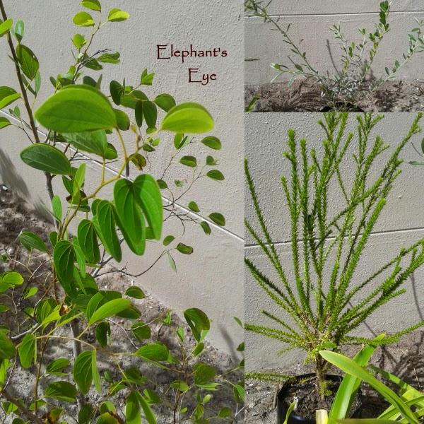 Bauhinia, Podalyria Euryops