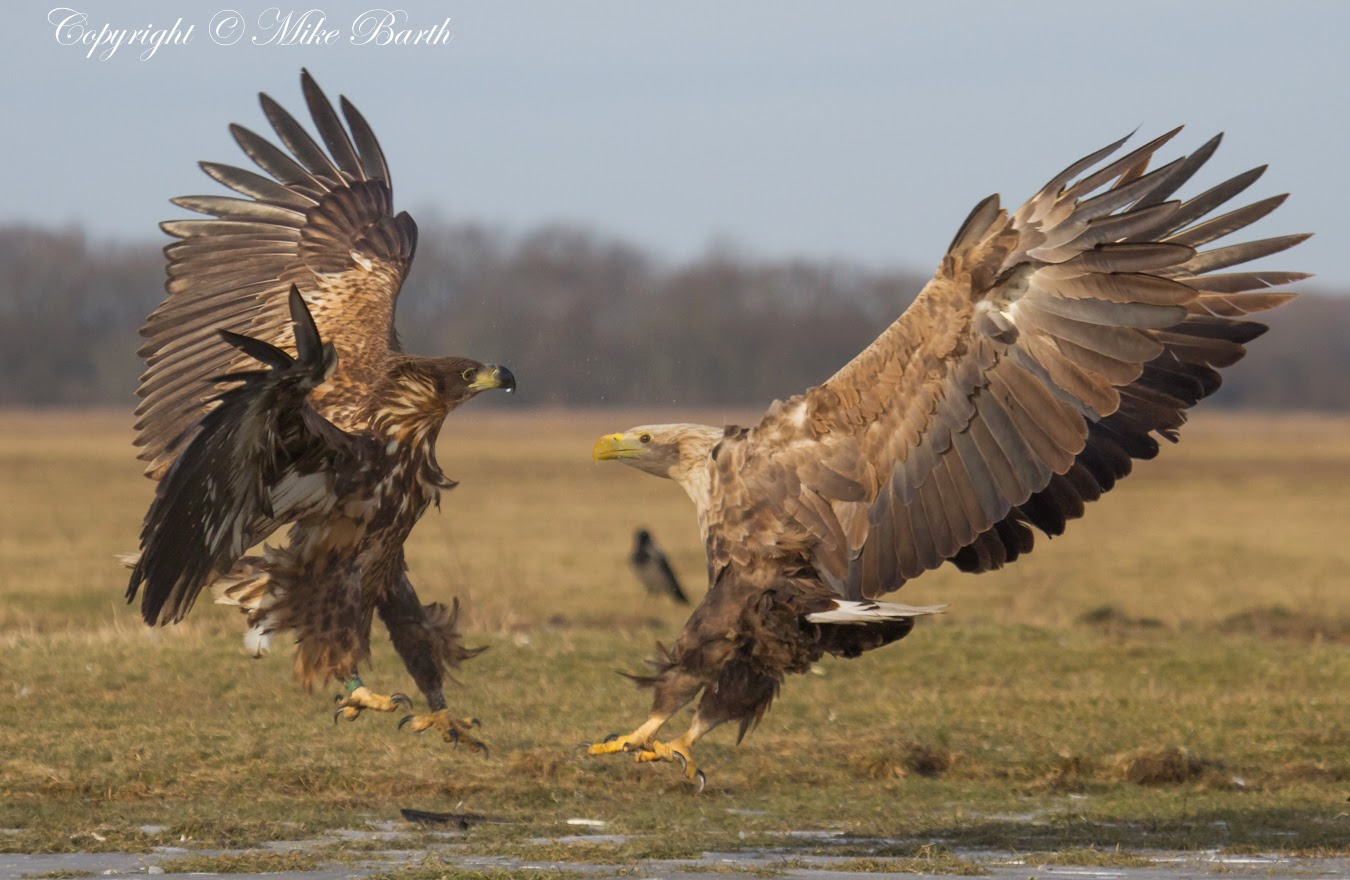 Eagles in Hungary