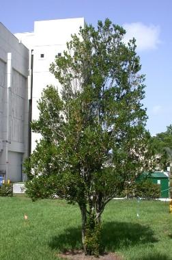 Gene S Green Scene Tree Thursday Spanish Stopper