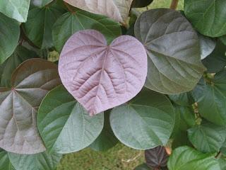 hibiscus%2Btiliaceus%2Brubra.jpg