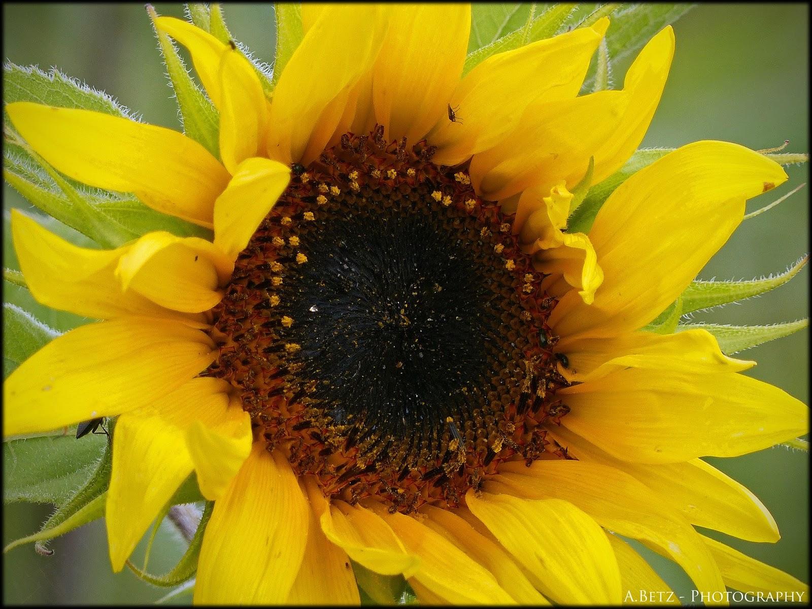 Augenblicke Fotografie Sonnenblumen