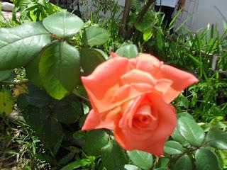 El día de Nuestra Señora Medalla Milagrosa, broto esta Rosa, se llama Virgen Milagrosa