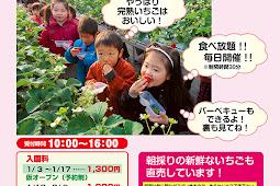 イチゴ狩りオープン 和田観光苺組合