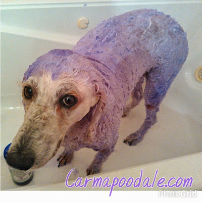 Poodle with purple shampoo on