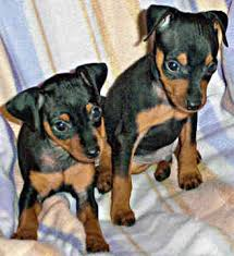 Manchester Terrier dogs cute puppies