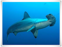 Hammerhead Shark Animal Pictures