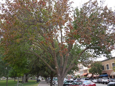Ornamental Pear Tree in Mid-September, © B. Radisavljevic