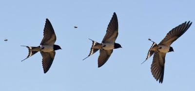 Cara Mudah Mengetahui Jumlah Populasi Burung Walet