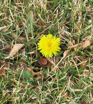 dandelion flowering November 24, 2017, northern Colorado