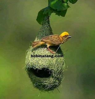 klasifikasi burung manyar