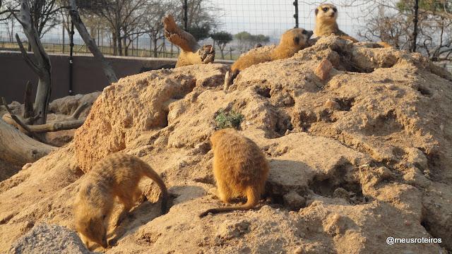 Suricatos no Lion Park - Joanesburgo