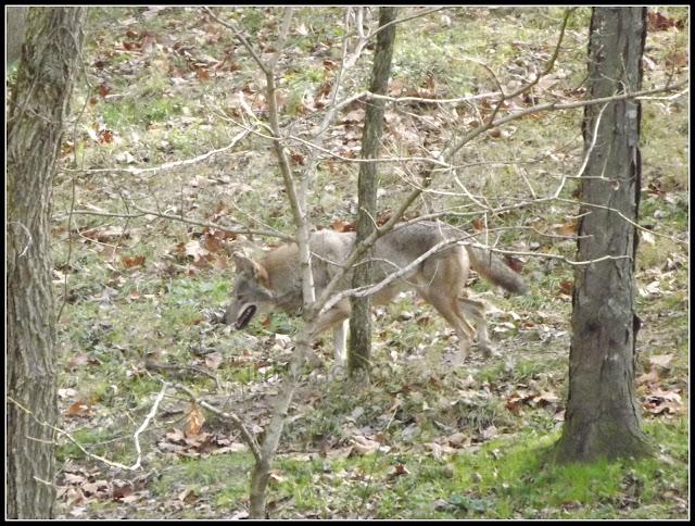 Missouri Wolves
