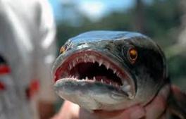 Rahang dan Gigi Ikan Toman