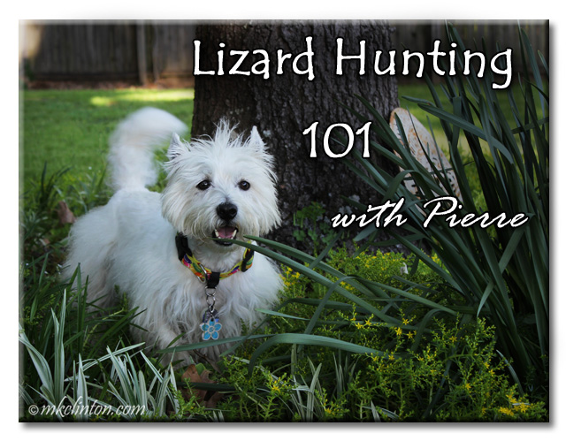 Lizard Hunting 101 with Pierre featuring Westie