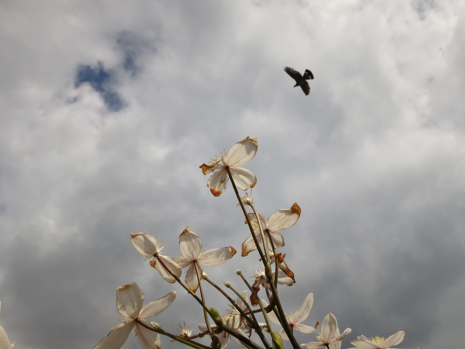 Unknown bird flies high above drooping Clematis armandii