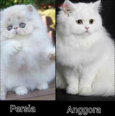 Download 89+  Gambar Kucing Persia Anggora Terbaik Gratis
