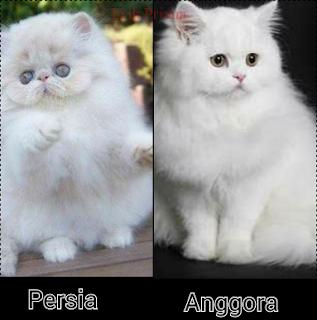 Kenali Dahulu 4 Perbedaan Karakteristik dari Kucing Persia dan Anggora