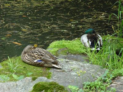 京都御苑 近衛池 マガモ