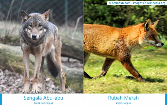 Perbedaan serigala abu-abu dan rubah merah