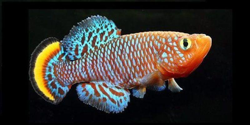 Gambar Ikan Ikan Pemakan Jentik Nyamuk - Ikan Killifish