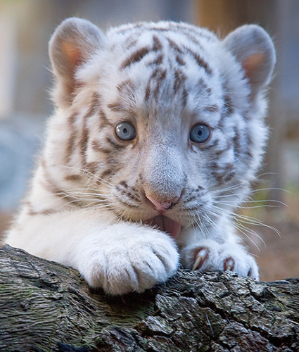 funny wallpapers hd wallpapers cute baby white tigers. Black Bedroom Furniture Sets. Home Design Ideas