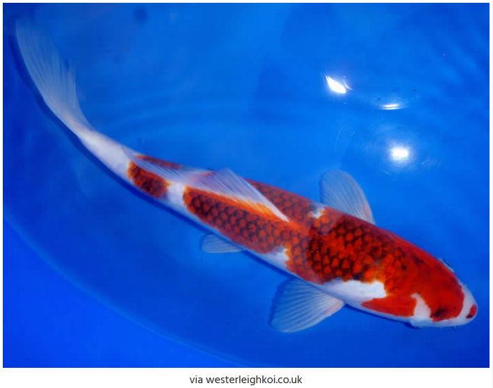 Jenis-Jenis Ikan Koi Ai Goromo