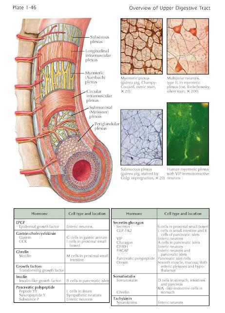 Enteric Nervous System