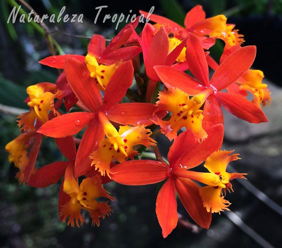 Floración de la orquídea Epidendrum radicans