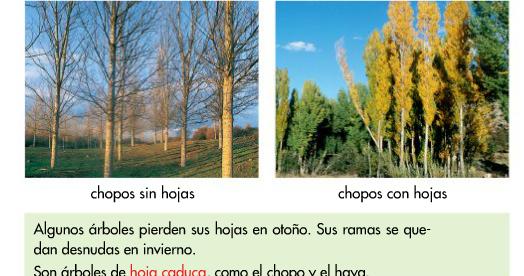 Blogs de ana bastida 1 y 2 rboles de hoja caduca y de for Arboles de hoja perenne para ninos