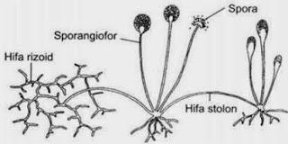 Rhizopus stolonifer Reproduksi Zygomycota