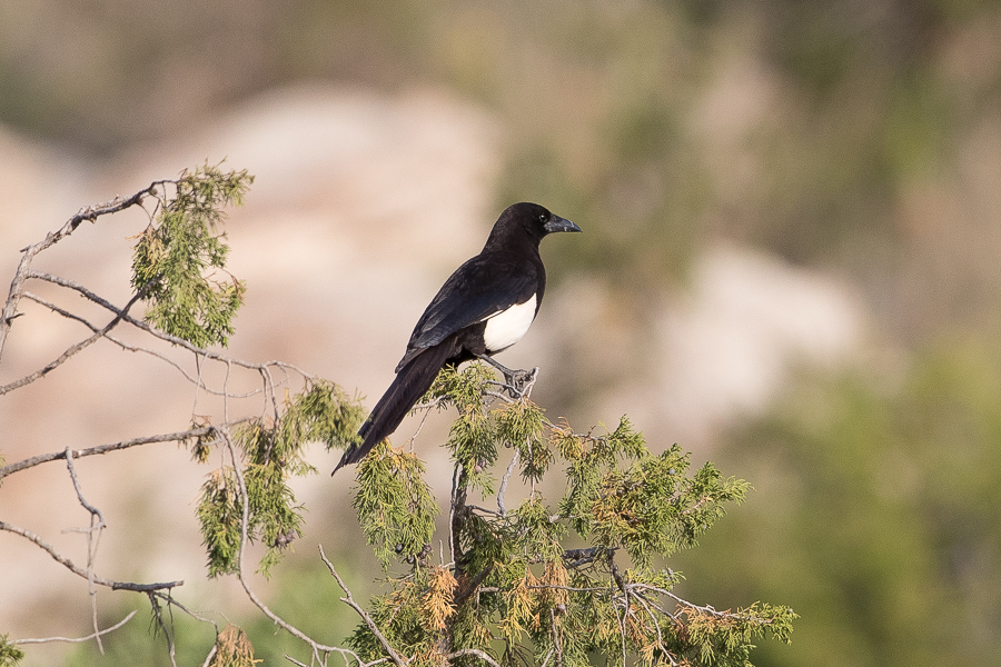 Asir (Arabian) Magpie – Tanoumah and An Namas