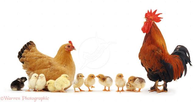 الحيوانات البيوضة  الدجاج