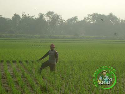 FOTO 5 : Haji Bangsu tetangga sawah sedang melakukan penyemprotan pencegahan hama ulat dan wereng pada tanaman padinya.