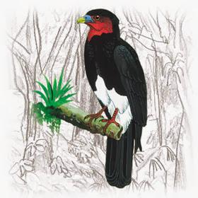 Caracara garganta roja Ibycter americanus