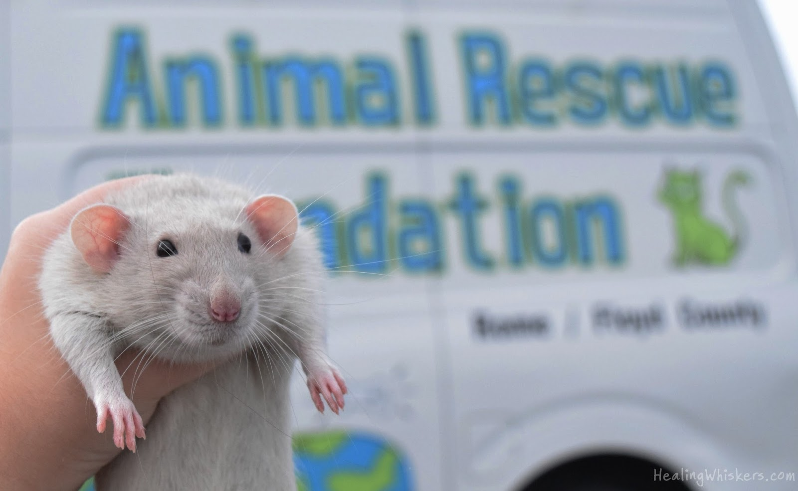Healing Whiskers: Rats, Rat Rods, and Romaine Lettuce