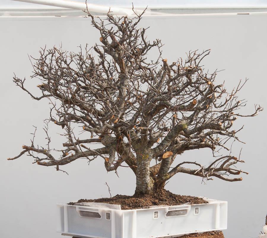 Walter Pall Bonsai Adventures Prunus 17