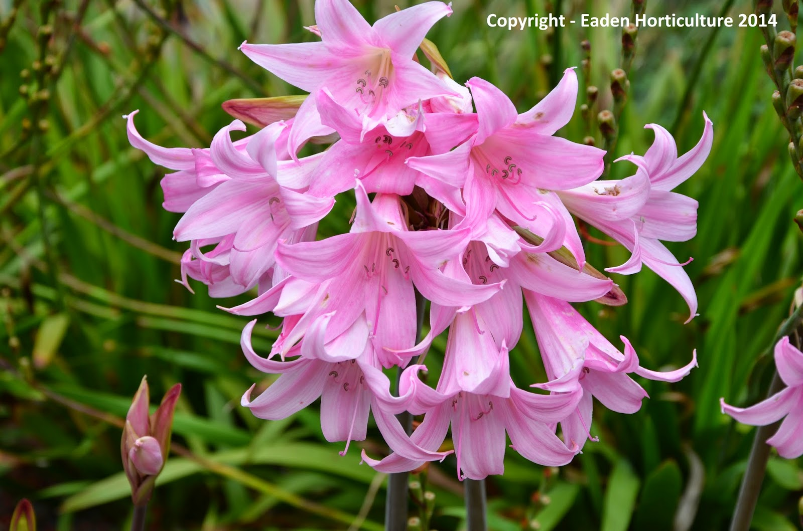 How to grow amaryllis belladonna the garden of eaden for Bulbes amaryllis belladonna