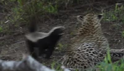 Induk Luwak Madu Serang Macan Tutul yang Memangsa Anaknya